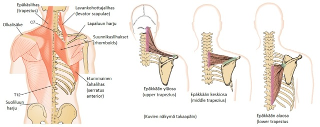 Kuva 10. Tukirangasta lapaluuhun kiinnittyviä lihaksia