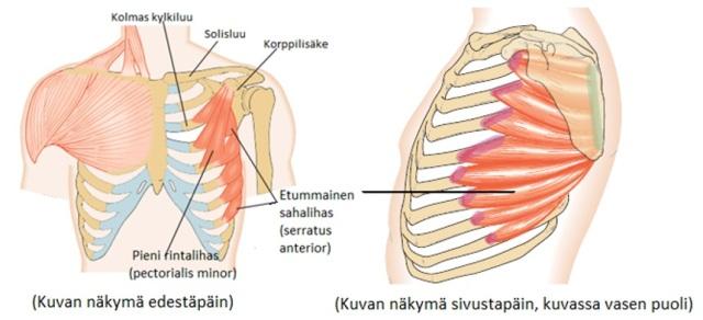 Kuva 11. Lisää tukirangasta lapaluuhun kiinnittyviä lihaksia
