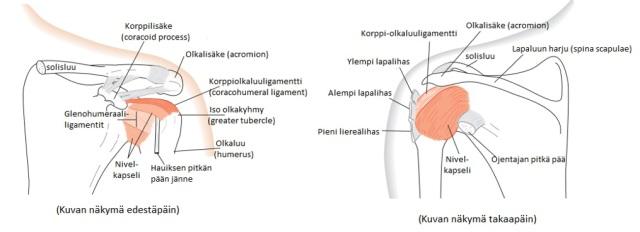 Kuva 2. lapa-olkanivelen sidekudoksiset tukirakenteet