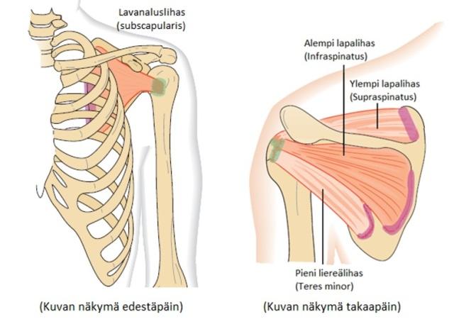 Kuva 7. Kiertäjäkalvosimen lihakset